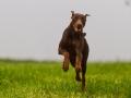 Hund_brauner_Dobermann_Spencer_Marburg_Giessen_Hundefotografie_Fotografie_Tierfotografie  (3)