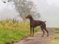 Hund_brauner_Dobermann_Spencer_Marburg_Giessen_Hundefotografie_Fotografie_Tierfotografie  (6)