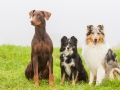 Hunde_Marburg_Giessen_Mischling_Border_Collie_Langhaarcollie_Dobermann_braun_tricolor_blue_merle_Gruppe_Hundegruppe _Gaia_Spencer_Maggy (17)