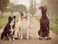 Hunde_Marburg_Giessen_Mischling_Border_Collie_Langhaarcollie_Dobermann_braun_tricolor_blue_merle_Gruppe_Hundegruppe _Gaia_Spencer_Maggy (7)