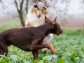 Hunde_spielend_Langhaarcollie_Collie_blue_merle_brauner_Dobermann_Spencer_Wiese_Feld_Hundefreunde_Freunde (4)