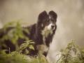 Maggy_Border_Collie_Mischling_tricolor_Hunde_Hund_Fotografie_Marburg_Giessen (7)