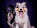 Langhaarcollie_Rough_Collie_Hundebaby_Baby_Welpe_Puppy_Gaia_bluemerle_Maggy_Border_Mischling_tricolor_Studio_Hundefotografie_Marburg (2)