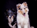 Langhaarcollie_Rough_Collie_Hundebaby_Baby_Welpe_Puppy_Gaia_bluemerle_Maggy_Border_Mischling_tricolor_Studio_Hundefotografie_Marburg (4)