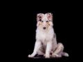 Langhaarcollie_Rough_Collie_Hundebaby_Baby_Welpe_Puppy_Gaia_bluemerle_Studio_Hundefotografie_Marburg_Christine_Hemlep_Tierfotografie (17)