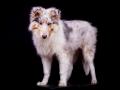Langhaarcollie_Rough_Collie_Hundebaby_Baby_Welpe_Puppy_Gaia_bluemerle_Studio_Hundefotografie_Marburg_Christine_Hemlep_Tierfotografie (23)