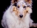 Langhaarcollie_Rough_Collie_Hundebaby_Baby_Welpe_Puppy_Gaia_bluemerle_Studio_Hundefotografie_Marburg_Christine_Hemlep_Tierfotografie (27)
