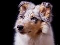 Langhaarcollie_Rough_Collie_Hundebaby_Baby_Welpe_Puppy_Gaia_bluemerle_Studio_Hundefotografie_Marburg_Christine_Hemlep_Tierfotografie (3)