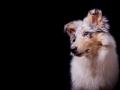 Langhaarcollie_Rough_Collie_Hundebaby_Baby_Welpe_Puppy_Gaia_bluemerle_Studio_Hundefotografie_Marburg_Christine_Hemlep_Tierfotografie (9)