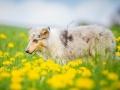 Langhaarcollie_Collie_bluemerle_Gaia_welpe_Hundefotografie_Tierfotografie_Marburg_Blumenwiese_loewenzahn (23)
