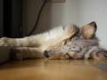 Gaia_Langhaarcollie_Rough_Collie_Bluemerle_Welpe_Baby_Tierbaby_Hundebaby_Hund_schlafend_schlafen_traeumend_traum_wand_Schlafposition_Schnappschuss (15)