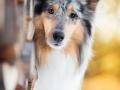 Hundemaedchen_Gaia_Langhaarcollie_Purrpawsfotografie_Nathalie_Große_ELOS_Event_Tierfotografie_Shooting (2)