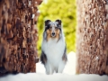 Hundemaedchen_Gaia_Langhaarcollie_Purrpawsfotografie_Nathalie_Große_ELOS_Event_Tierfotografie_Shooting (3)