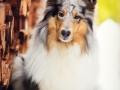 Hundemaedchen_Gaia_Langhaarcollie_Purrpawsfotografie_Nathalie_Große_ELOS_Event_Tierfotografie_Shooting (4)