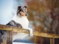 Hundemaedchen_Gaia_Langhaarcollie_Purrpawsfotografie_Nathalie_Große_ELOS_Event_Tierfotografie_Shooting (6)