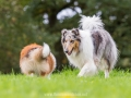 Hundemaedchen_Gaia_Collie_Langhaarcollie_Wilson_Shetland_Sheepdog_Sheltie_Lassie_Huetehund_ELOS_Event_shooting (11)