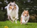 Hundemaedchen_Gaia_Collie_Langhaarcollie_Wilson_Shetland_Sheepdog_Sheltie_Lassie_Huetehund_ELOS_Event_shooting (15)