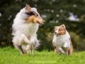 Hundemaedchen_Gaia_Collie_Langhaarcollie_Wilson_Shetland_Sheepdog_Sheltie_Lassie_Huetehund_ELOS_Event_shooting (4)
