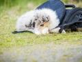 Fotografenbegleithund_Gaia_Fotograf_Begleithund_Langhaarcollie_Rough_Collie_bluemerle_Welpe_Baby_Puppy_Hund_Marburg (3)