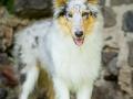 Hundefotografie_Tierfotografie_Gaia_Rough_Collie_Langhaarcollie_bluemerle_Gaia_Welpe_Junghund_Frauenberg_Ruine (17)