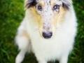 Hundefotografie_Tierfotografie_Gaia_Rough_Collie_Langhaarcollie_bluemerle_Gaia_Welpe_Junghund_Frauenberg_Ruine (19)
