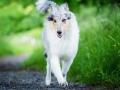 Hundefotografie_Tierfotografie_Gaia_Rough_Collie_Langhaarcollie_bluemerle_Gaia_Welpe_Junghund_Frauenberg_Ruine (27)