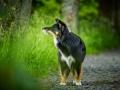 Hundefotografie_Tierfotografie_Marburg_Maggy_Border_Collie_Mischling_tricolor_Senior_Frauenberg_Ruine (17)
