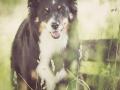 Hundefotografie_Tierfotografie_Marburg_Maggy_Border_Collie_Mischling_tricolor_Senior_Frauenberg_Ruine (25)