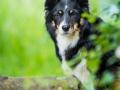 Hundefotografie_Tierfotografie_Marburg_Maggy_Border_Collie_Mischling_tricolor_Senior_Frauenberg_Ruine (3)