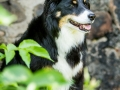 Hundefotografie_Tierfotografie_Marburg_Maggy_Border_Collie_Mischling_tricolor_Senior_Frauenberg_Ruine (7)