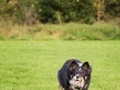 Border_Collie_Mischling_Maggy_tricolor_senior_frisbee_Sport_Hundesport_wiese (1)