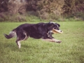 Border_Collie_Mischling_Maggy_tricolor_senior_frisbee_Sport_Hundesport_wiese (3)