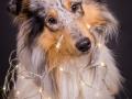 Hundemaedchen_Gaia_Langhaarcollie_Rough_Collie_bluemerle_Weihnachten_Studioaufnahme (3)