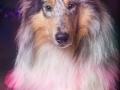 Hundemaedchen_Gaia_Langhaarcollie_Rough_Collie_bluemerle_Weihnachten_Studioaufnahme (4)