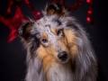 Hundemaedchen_Gaia_Langhaarcollie_Rough_Collie_bluemerle_Weihnachten_Studioaufnahme (8)