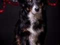 Hundemaedchen_Maggy_Border_Collie_Mischling_Mix_tricolor_Senior_Weihnachten_Studioaufnahme (2)