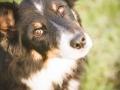 Hundemaedchen_Maggy_Border_Collie_Mix_Mischling_Senior_Hund_tricolor_Lahnwiesen_Marburg_Maedchen_Huendin (14)