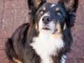 Hundemaedchen_Maggy_Border_Collie_Mix_Mischling_Senior_Hund_tricolor_Lahnwiesen_Marburg_Maedchen_Huendin (4)