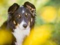 Hundefotografie_Hund_Tierfotografie_Marburg_Border_Collie_Mischling_Maggy_tricolor_Fotografin_Christine_Hemlep (11)