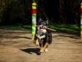 Hundefotografie_Hund_Tierfotografie_Marburg_Border_Collie_Mischling_Maggy_tricolor_Fotografin_Christine_Hemlep (13)