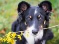 Hundefotografie_Hund_Tierfotografie_Marburg_Border_Collie_Mischling_Maggy_tricolor_Fotografin_Christine_Hemlep (3)