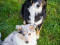 Hundefotografie_Hund_Tierfotografie_Marburg_Border_Collie_Mischling_Maggy_tricolor__Langhaarcollie_Gaia_bluemerle_Fotografin_Christine_Hemlep (1)