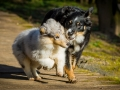 Hundefotografie_Hund_Tierfotografie_Marburg_Border_Collie_Mischling_Maggy_tricolor__Langhaarcollie_Gaia_bluemerle_Fotografin_Christine_Hemlep (9)