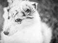 Hundefotografie_Hund_Tierfotografie_Marburg_Langhaarcollie_Collie_Gaia_blue_merle_Welpe_Baby_Hundebaby_Fotografin_Christine_Hemlep (10)