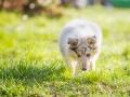 Hundefotografie_Hund_Tierfotografie_Marburg_Langhaarcollie_Collie_Gaia_blue_merle_Welpe_Baby_Hundebaby_Fotografin_Christine_Hemlep (3)