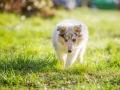 Hundefotografie_Hund_Tierfotografie_Marburg_Langhaarcollie_Collie_Gaia_blue_merle_Welpe_Baby_Hundebaby_Fotografin_Christine_Hemlep (5)