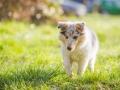 Hundefotografie_Hund_Tierfotografie_Marburg_Langhaarcollie_Collie_Gaia_blue_merle_Welpe_Baby_Hundebaby_Fotografin_Christine_Hemlep (7)