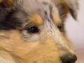 Gaia_Langhaarcollie_Collie_blue_merle_Einzug_neues_Heim_Welpe_Puppy_Junghund_Baby (102)