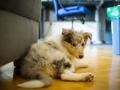 Gaia_Langhaarcollie_Collie_blue_merle_Einzug_neues_Heim_Welpe_Puppy_Junghund_Baby (17)