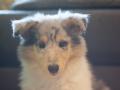 Gaia_Langhaarcollie_Collie_blue_merle_Einzug_neues_Heim_Welpe_Puppy_Junghund_Baby (30)